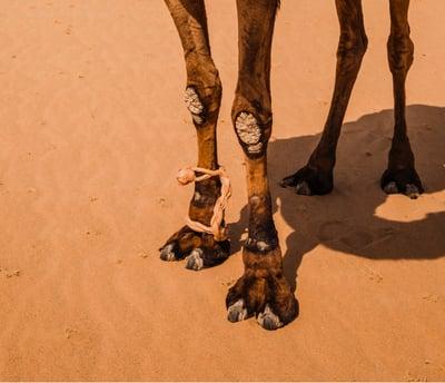 animal-arabian-camel-bridle-1718258